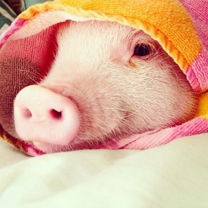 @hamlet_the_piggy