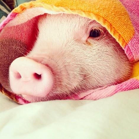 @hamlet_the_piggy la mini pig di Pasadena