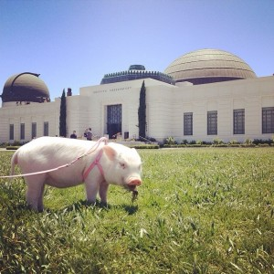 @hamlet_the_piggy al Griffith Observatory (Los Angeles)